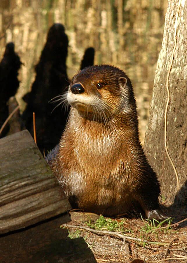 Brookgreen Gardens otter